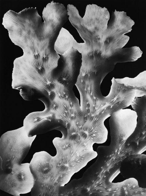 Alfred Ehrhardt, Leptoseris, um 1940, © bpk / Alfred Ehrhardt Stiftung