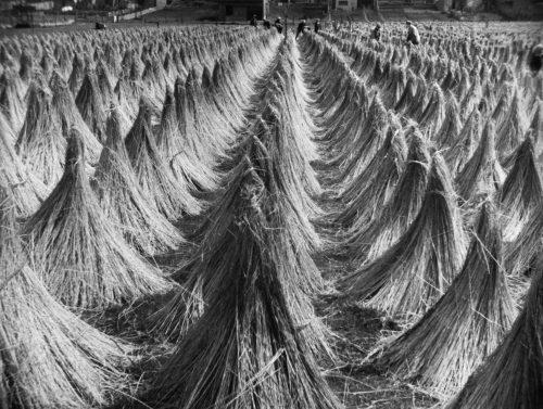 Alfred Ehrhardt, Flachs zum Trocknen aufgestellt, Leinen aus Kortrijk, Flandern, Belgien, um 1940, © bpk / Alfred Ehrhardt Stiftung