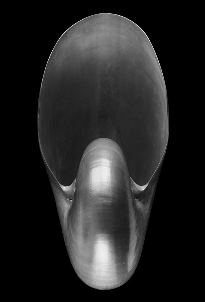 Alfred Ehrhardt Nautilus pompilius L. Philippinen 1940/41, Abzug 1968, Gelatinesilberabzug © bpk / Alfred Ehrhardt Stiftung