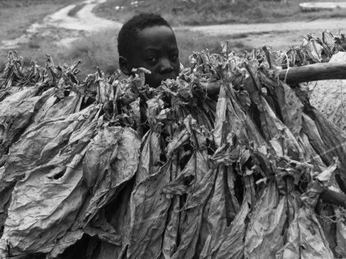 Alfred Ehrhardt, Tabak-Ernte, Rhodesien, 1956, © bpk / Alfred Ehrhardt Stiftung